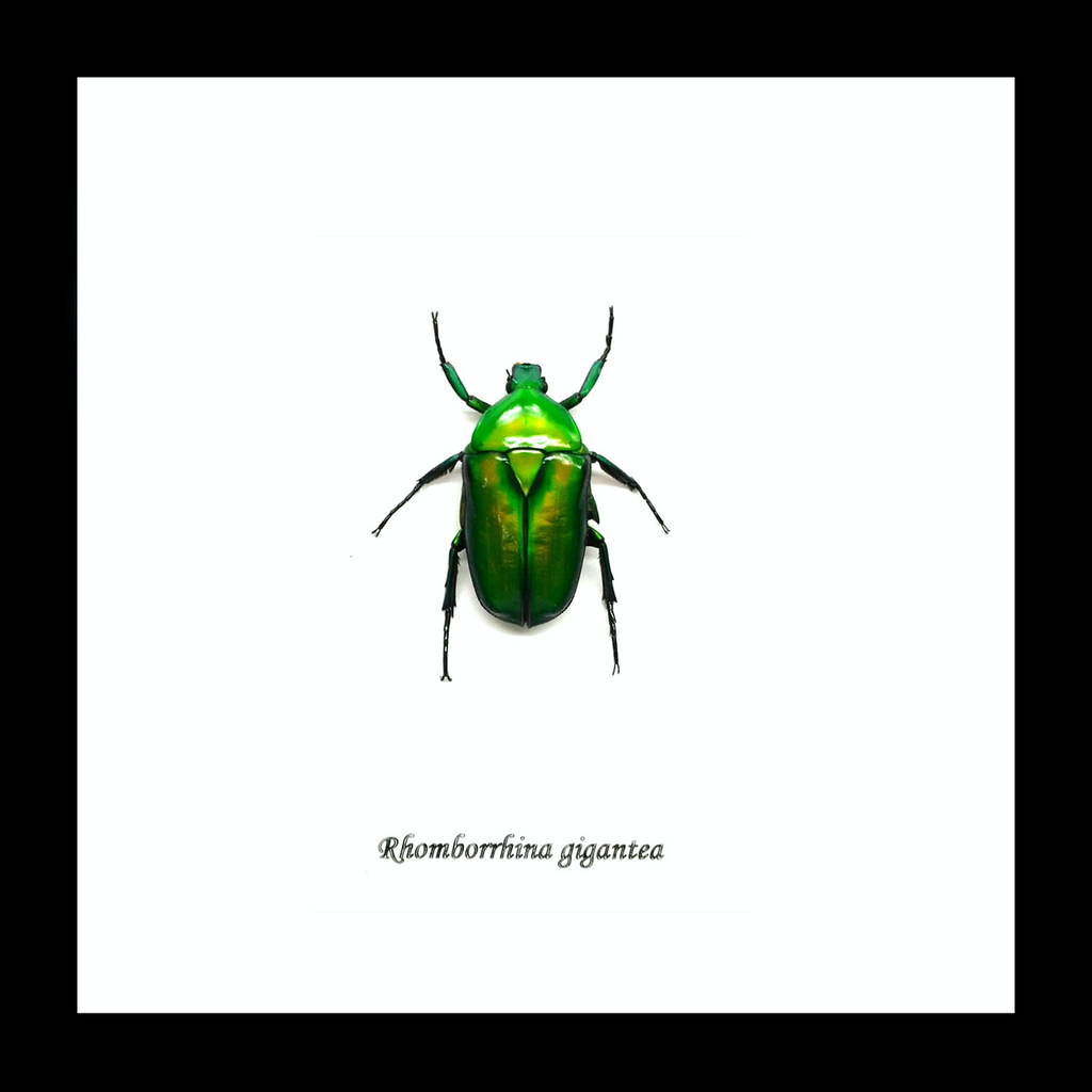 Australia Rhomborrhina gigantea green in black frame 14.5x14.5cm