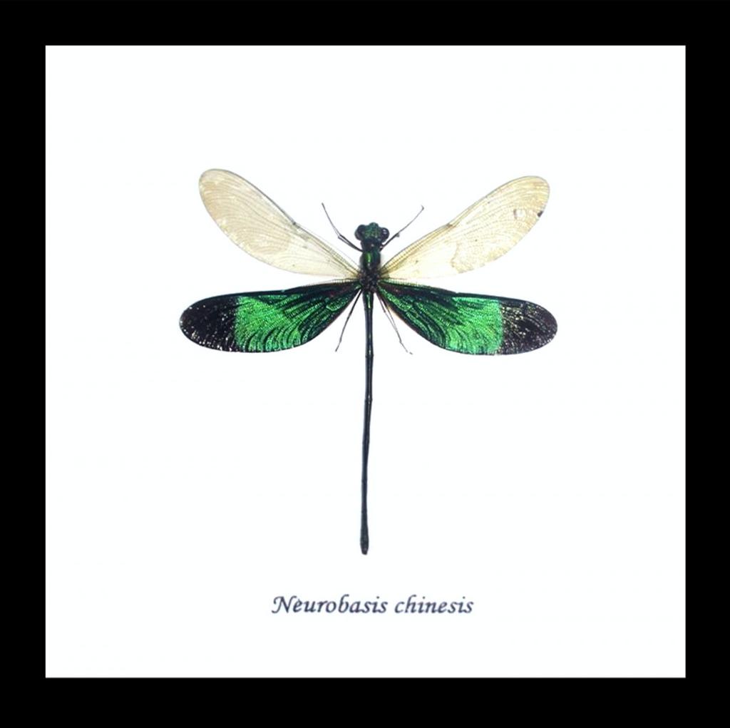 Australia Neurobasis chinensis black frame 14.5cm x 14.5cm.