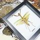 Australia Giant mantid brown/green in black frame 16.5x16.5cm