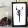 Australia Extra Large scorpion Hetrometrus spinifer in Black frame 15.5cm x 25.5cm