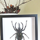 Australia Chalcosoma atlas male closed white label back black frame 18.5cm x 18.5cm