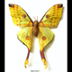 Australia Argema mittrci female, long tailed moon moth from Madagascar in black frame 25.5 x 28.5cm.