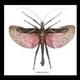Australia Heteropteryx dilatata male in black frame 20cm x 20cm.