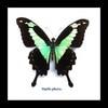 Australia Papilio phorcas in black frame 14.5x14.5cm