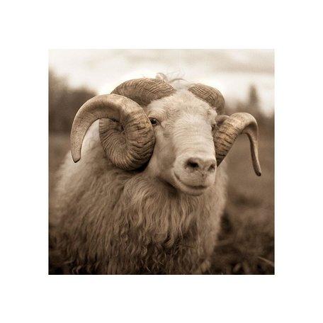 "Icelandic Ram by Val Shaff 48""x48"""