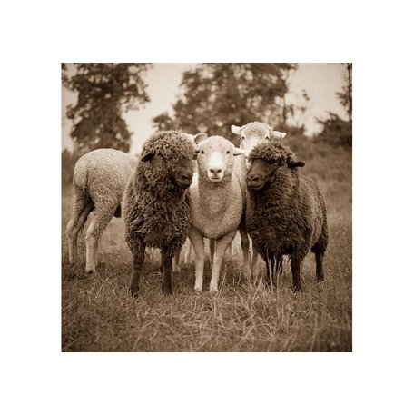 Flock of Sheep by Val Shaff 36x36