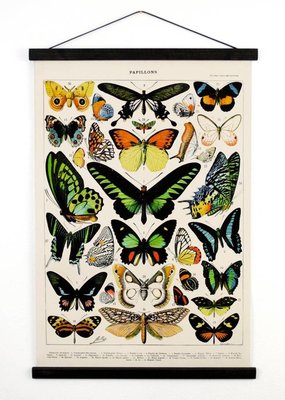 Curious Prints Vintage Natural History French Butterfly 1Canvas Chart-18x24