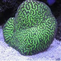 Products tagged with brain coral