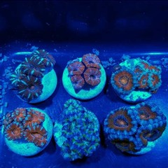 Products tagged with Acan Lord Acanthastrea
