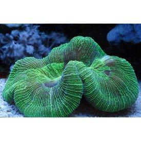 Trachyphyllia Green Tiny