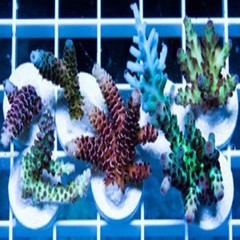 Products tagged with acropora frags