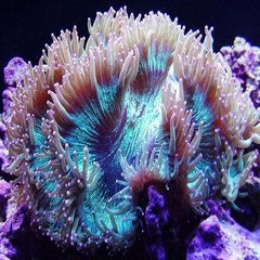 Products tagged with Elegance Coral Large