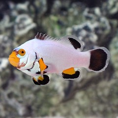 Products tagged with platinum clownfish