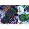 Ultra Grade Rock Flower Anemone