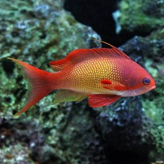 Products tagged with colorful saltwater fish