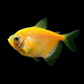 GloFish Sunburst Orange Tetra