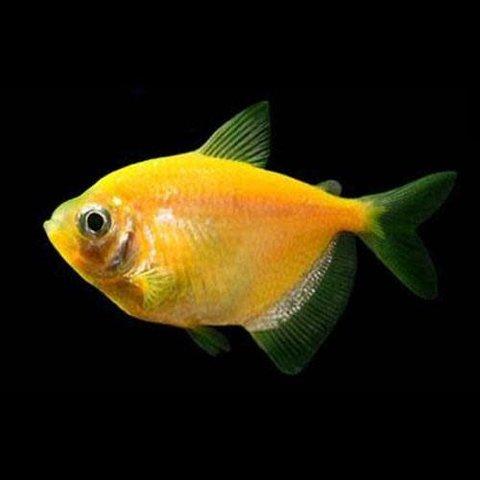 GloFish Sunburst Orange Tetra