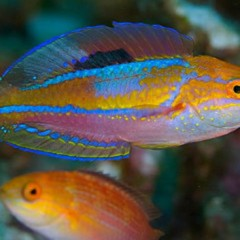Products tagged with pintail fairy wrasse