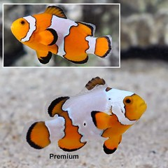 Products tagged with Anemonefish