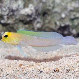 Yellowhead Pearly Jawfish