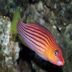 Products tagged with 8 line wrasse