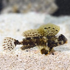 Products tagged with blenny fish