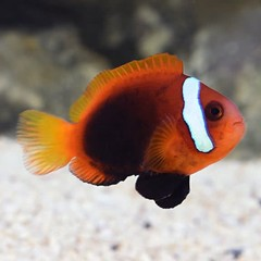 Products tagged with Black Anemonefish