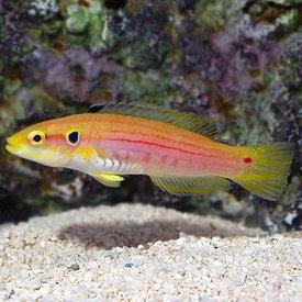 Twospot Yellow Hogfish