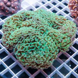 Green Hammer Coral Colony