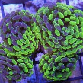 Toxic Splatter Hammer Coral Frag