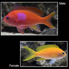 Products tagged with female anthias fish