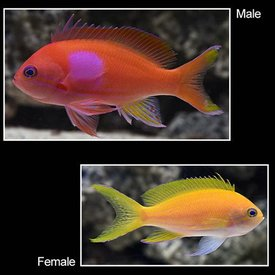 Squareback Anthias Female