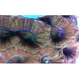 Dragon Scale Homophyllia Bowerbanki Frag