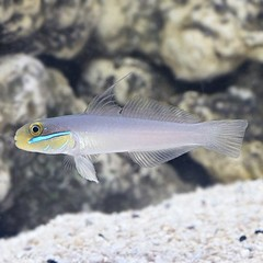 Products tagged with golden head sleeper saltwater fish