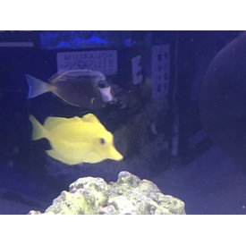 Rescue Yellow Tang