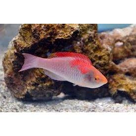 Do All Wrasse Fish Like To Jump Aquarium Illusions Inc 17211 107