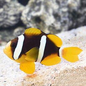 Clarkii Clownfish -Captive