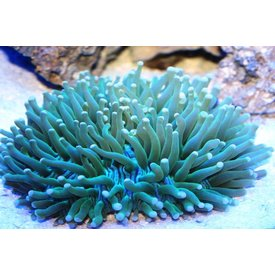 Australian Long Tentacle Plate Coral