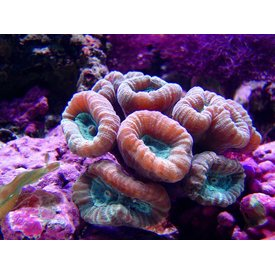 Candy Cane Coral, Brown