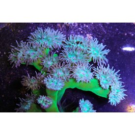 Ultra Grade Neon Green Duncan Colony, 3-4""