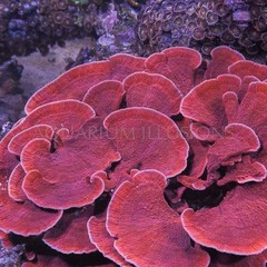 Products tagged with Montipora Capricornis