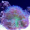 Australian Elegance Coral Green