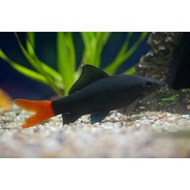Red Tail Black Shark