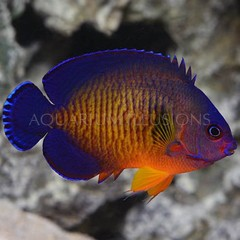Products tagged with coral beauty angel fish
