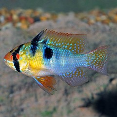 Products tagged with german blue ram freshwater fish