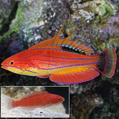 Products tagged with carpenter flasher wrasse fish