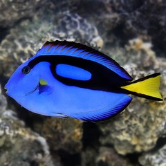 Products tagged with bright colored saltwater fish