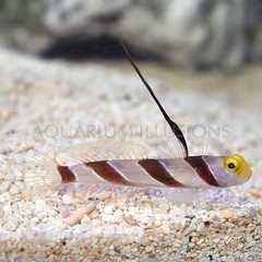 Products tagged with antenna goby