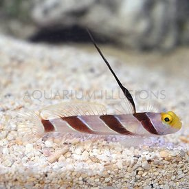 Antenna Goby/Black-Ray Goby