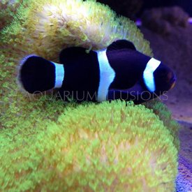 Black Ocellaris Clownfish
